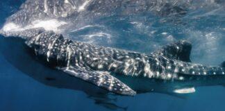 squalo balenas